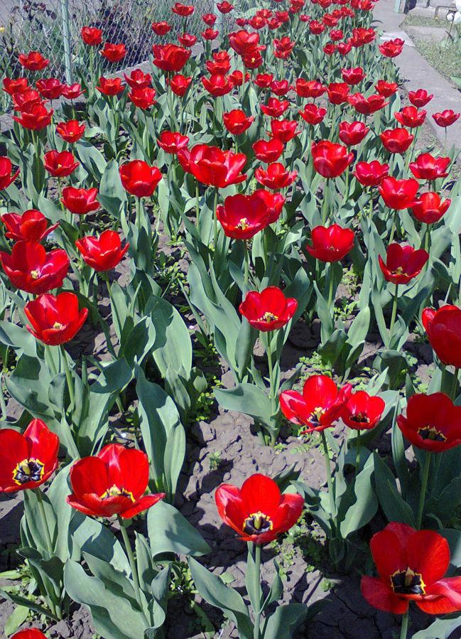 Фото 2 - Продам луковицы тюльпанов красные ранние
