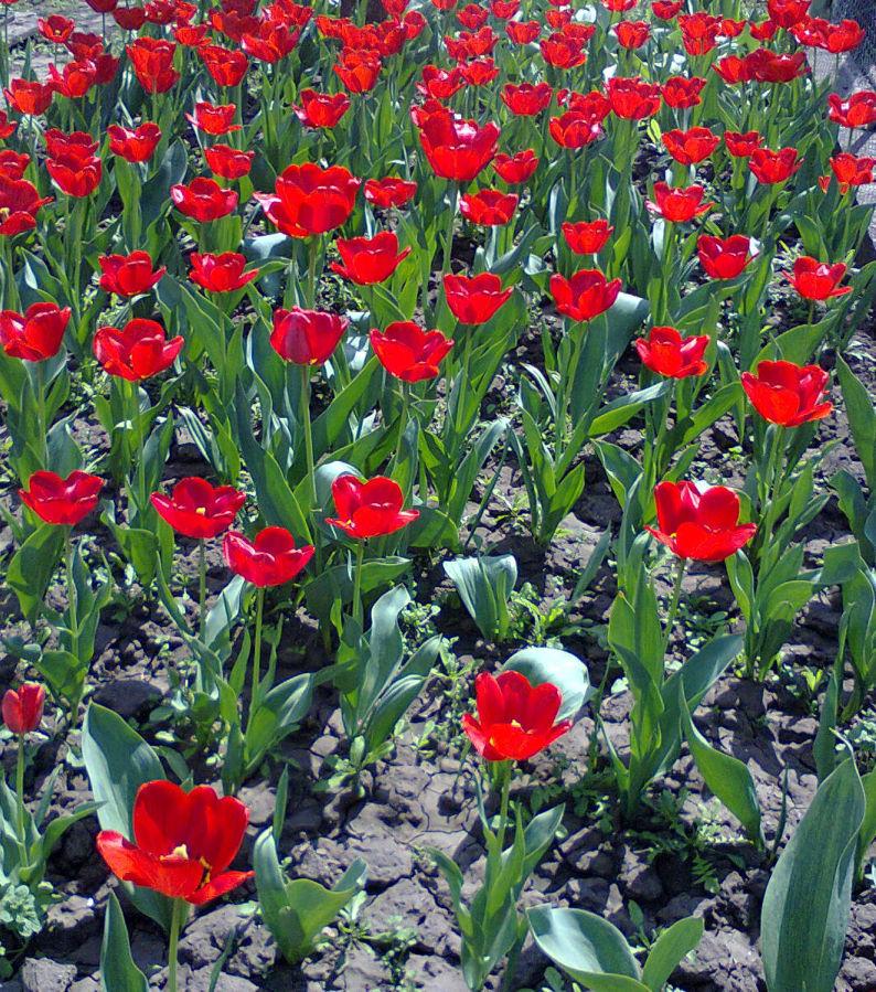 Фото - Продам луковицы тюльпанов красные ранние