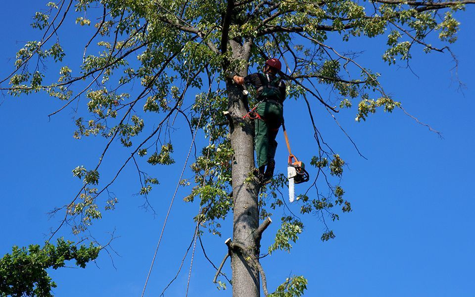 Фото - Спиливание аварийных деревьев в опасной ситуации