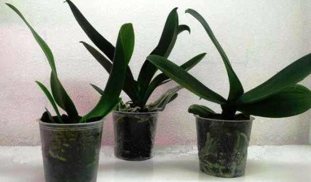 Фото - Орхидеи фаленопсисы (уценка)