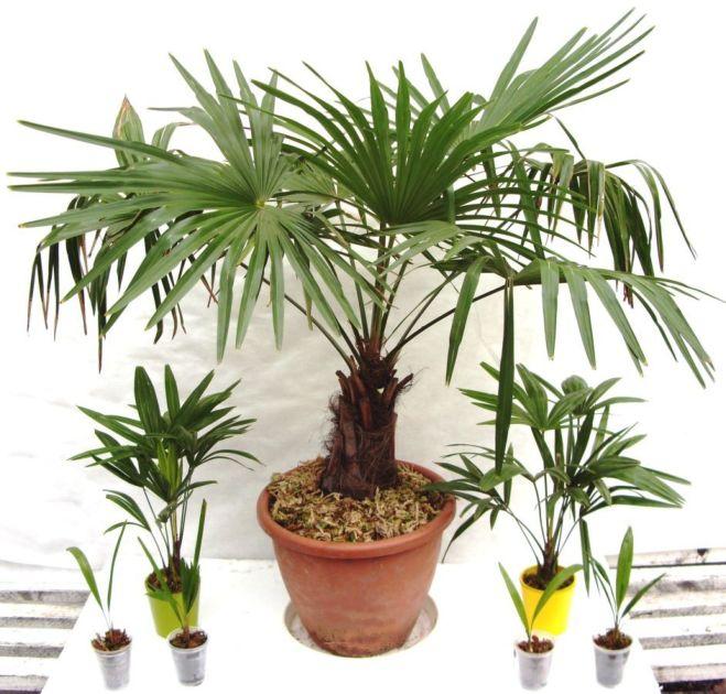 Продам 2-х, 4-х летние саженцы пальмы веерной Трахикарпус.