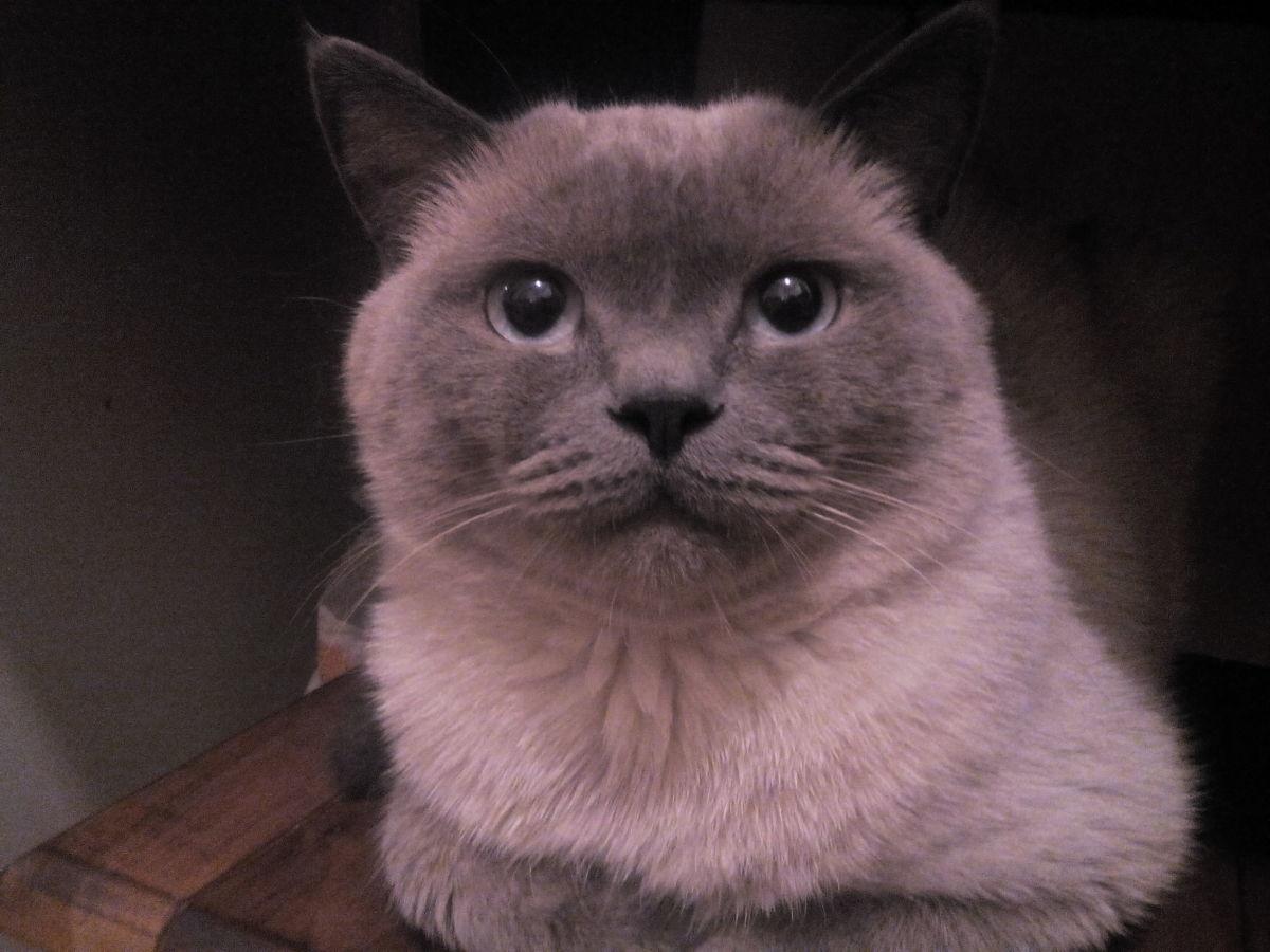 Фото 2 - Котята вислоухие
