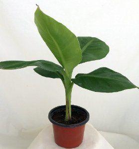 Фото 2 - Продам семена Банан бархатный