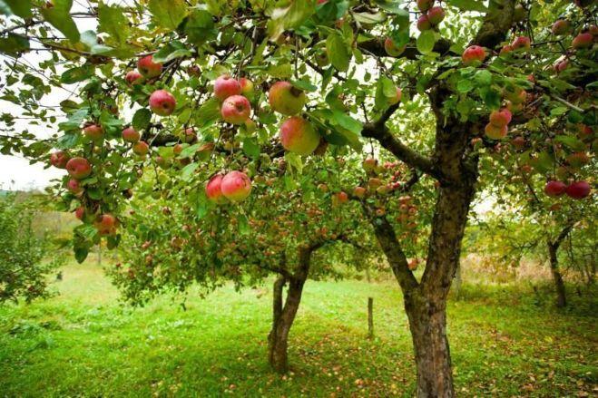 Весенняя обработка сада от болезней и вредителей.