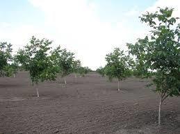 Продам ореховый сад