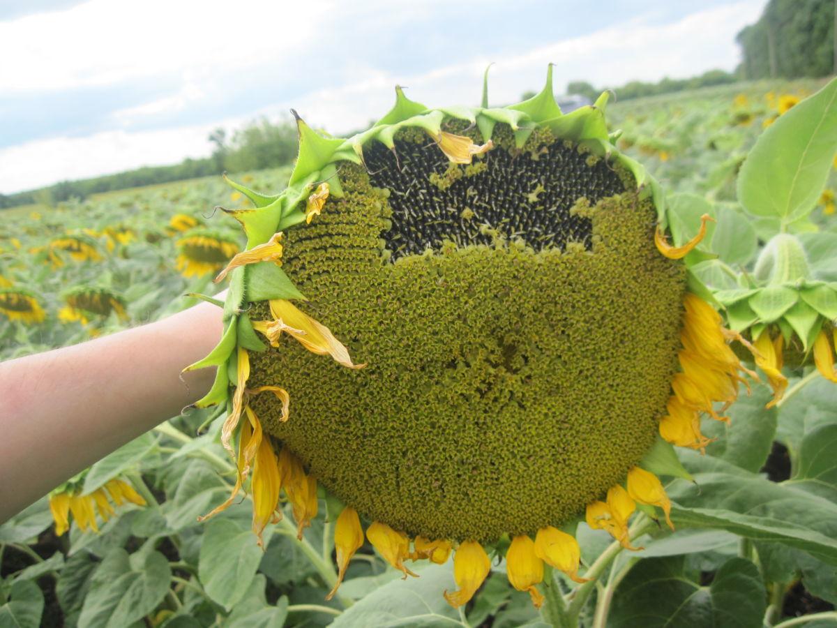 Семена подсолнечника Бенето (А-F), Майсадур Семенс, Франция