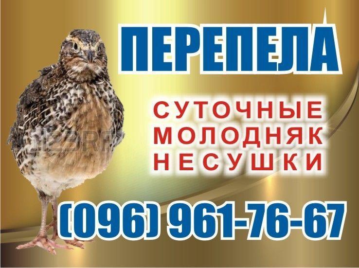 Перепелки. суточные и молодняк. с.демидов