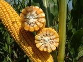 Насіння курудзи гібрид Вакула (ФАО 250) / продам семена кукурузы