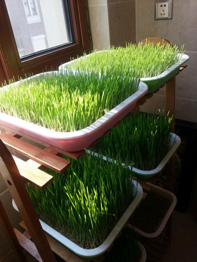 Поддон лоток для гидропонного выращивания пшеницы рассады.