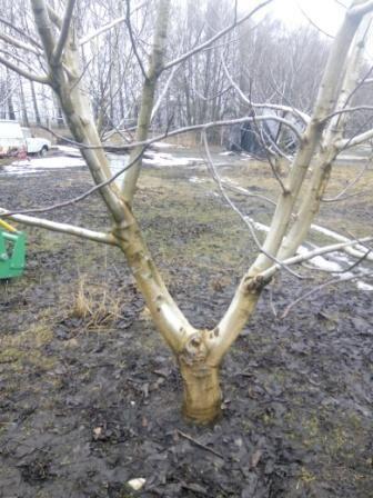 10 річний Горіховий сад