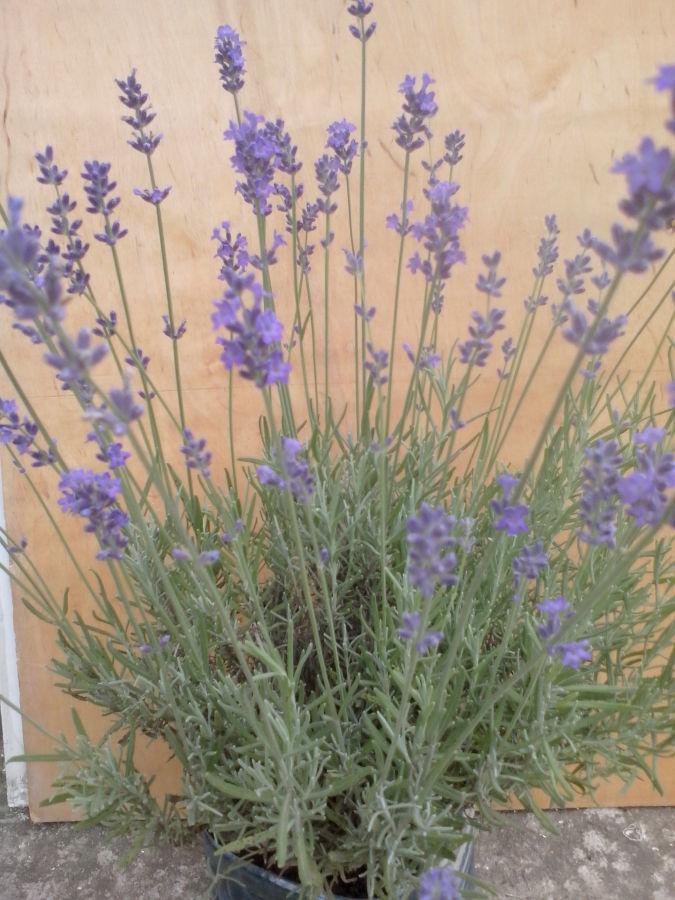 лаванда зимостійка (саджанці, квіти, насіння) - 8 сортів