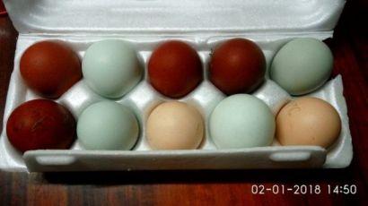 Куры. Маран черномедный. Инкубационное яйцо.