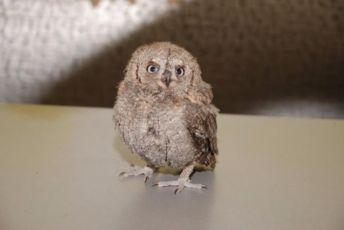 домашняя сова сплюшка с питомника