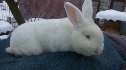 Продам Племенных кроликов породы Новозеландский белый кролики (НЗБ)