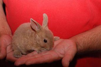 Гипоаллергенный кролик, декоративный мини кролик Рекс