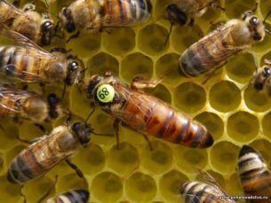 Пчелиные матки Бакфаст F1 чистопородные