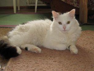 Пушистый белый кот 7 месяцев