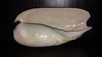 Морская раковина ракушка Цимбиум (черпак)