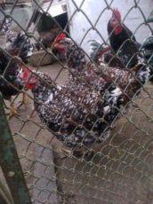 Кури полтавські ситцеві - інкубаційне яйце 2