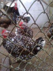 Кури полтавські ситцеві - інкубаційне яйце 3