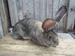 Обмен кроли баран,фландер,бельгийський великан, на солому,сено