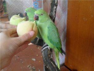 Ожереловый попугай зеленый Киев