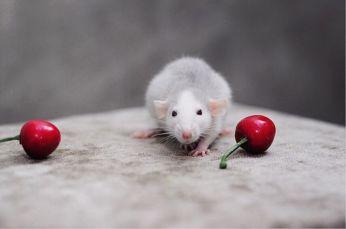 Крысята из питомника. Декоративная Крыса.