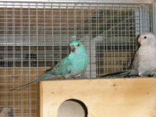 Певчие попугаи опалиновые, голубые