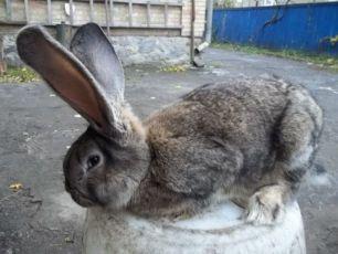 Обмен кроли баран,фландр,бельгийський великан,новозеландцы на зерновые