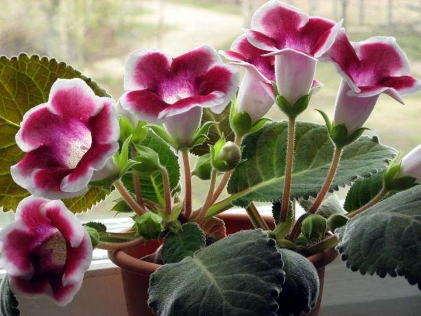 Архив Глоксиния: 10 грн. - Комнатные растения Сумы на BESPLATKA.ua ...