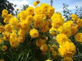 Санрайз сорт гелиопсиса - цветок солнце