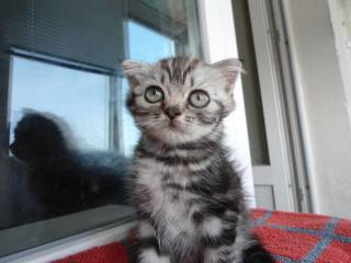 Шотландские котята прямоухие 800 грн., вислоухие 1200 грн. 4