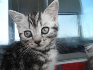 Шотландские котята прямоухие 800 грн., вислоухие 1200 грн. 3