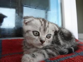 Шотландские котята прямоухие 800 грн., вислоухие 1200 грн. 2