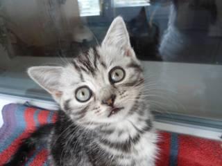 Шотландские котята прямоухие 800 грн., вислоухие 1200 грн.