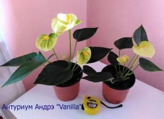 "Антуриум Андрэ ""Vanilla"", Шерцера"