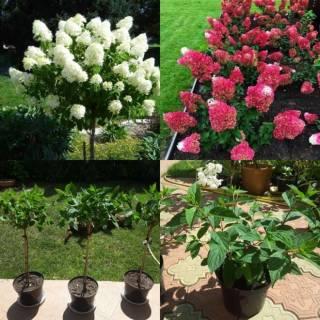 Цветущие гортензии, клематисы, барбарисы