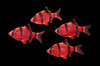 Продаю акваріуми, акваріумні рибки та рослини 4