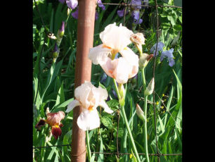 Ирис крупноцветковый