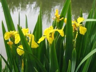 Растения для водоема, пруда: нимфеи, кувшинки, прибрежные растения 2