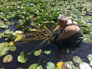 Растения для водоема, пруда: нимфеи, кувшинки, прибрежные растения 4