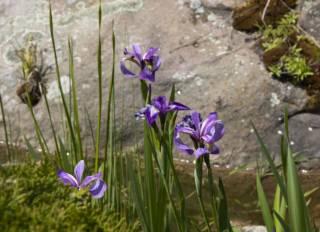Растения для водоема, пруда: нимфеи, кувшинки, прибрежные растения 3