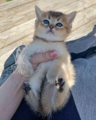 Золотая шиншилла - мальчик Амбер, котенок шотландский британский 2