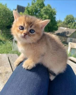 Золотая шиншилла - мальчик Амбер, котенок шотландский британский