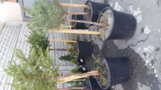 Хвойные растения,декоративные саженцы. 7