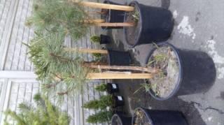 Хвойные растения,декоративные саженцы. 8