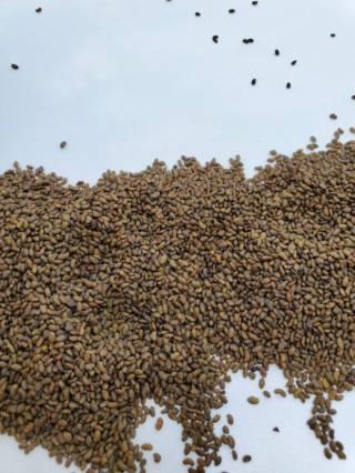 Продам семена люцерны Насіння люцерни 2