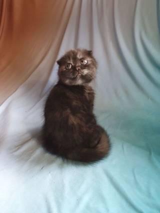 Продаю Шотландского вислоухого котёнка 3