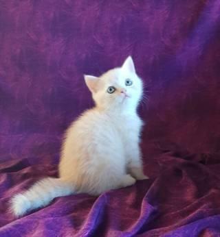 Продаю Шотландского прямоухого котёнка