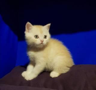 Продаю Шотландского прямоухого котёнка 3
